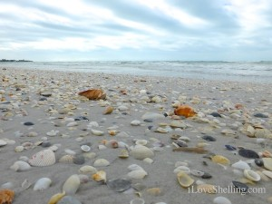 seashells on the beach sw florida