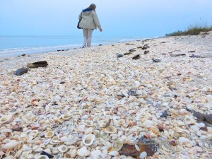 seashells strewn on sanibel beach shellabaloo 4