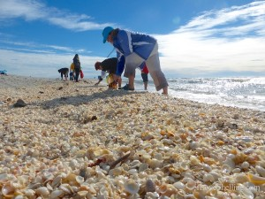 shelling sanibel shell pile in january