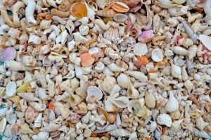 assortment of collected small Sanibel Florida shells