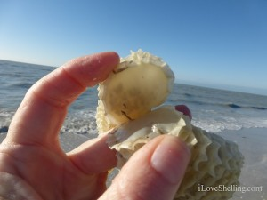 baby lightning whelks in egg chain