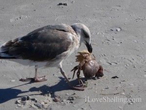bird eating stone crab sanibel