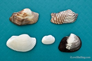 common sanibel ark shells difference
