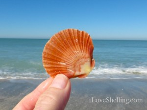 flat scallop south seas resort captiva