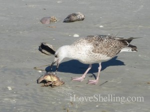 gull eating crab