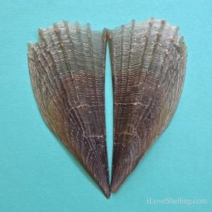 half naked pen shell atrina seminuda
