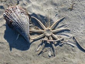 millipede starfish and pen shell