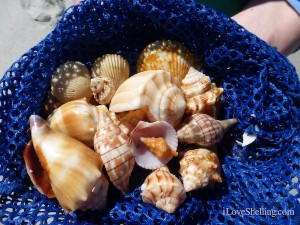 sanibel sea shells on blue