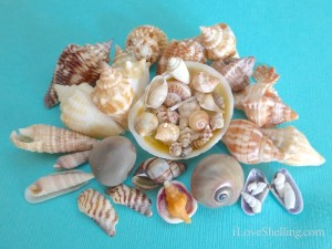 seashells from Sanibel wrack lines shelling 101
