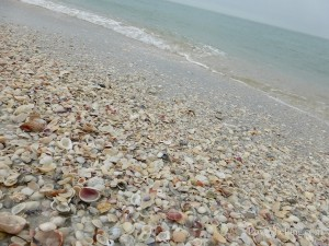 seashells line the beach at cayo costa i love shelling