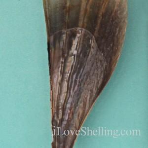 stiff pen shell atria rigida nacreous