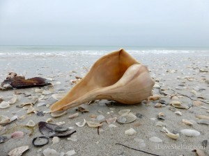 whelk on cayo costa beach
