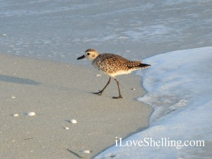 Black-bellied Plover on Sanibel Island Florida