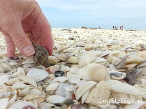 Finding seashells on Sanibel Island Florida on Tarpon Beach