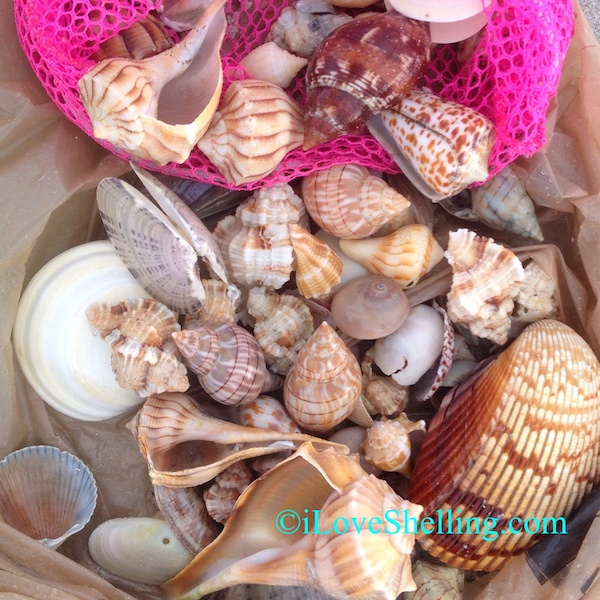 Quick Shelling Update- Seashells!