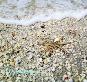 Sanibel Starfish and seashells