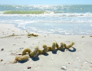 Lighting whelk egg chain on sanibel beach