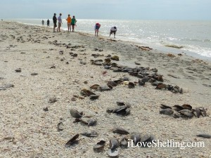 Sanibel beach filled with shells