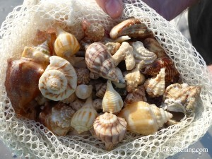 Sanibel seashells in a shell net