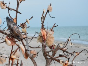 Sanibel shell shrub