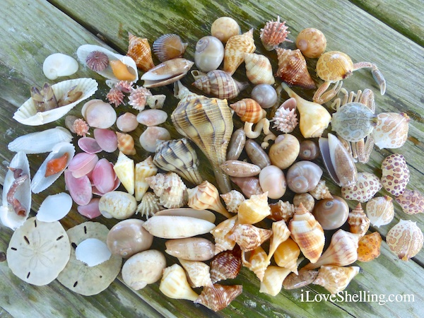 assortment of shells collected while beach combing swfl