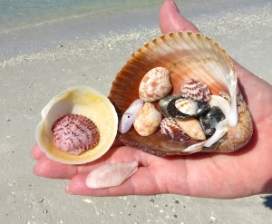 bivalve seashells found on a florida beach
