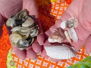 black jingles babys ear shells