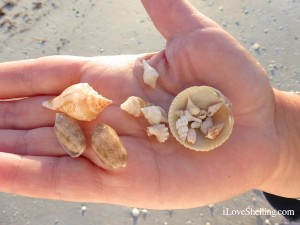 collecting miniature sanibel seashells