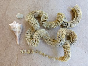 lightning whelk egg case chain