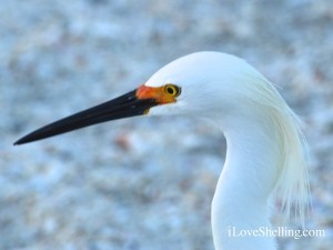 sanibel snowy egret bird profile
