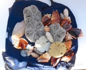 sea shells found on cayo costa island florida