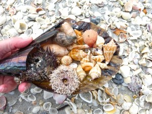 sea urchins and shells collected on Sanibel Island