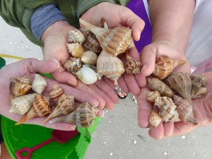seashells found at sanibel lighthouse beach in march