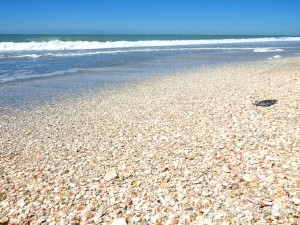 seashells on the beach- Captiva Island Florida