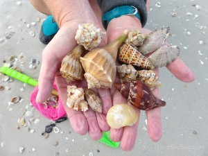 seashells you can find on Sanibel Island Florida