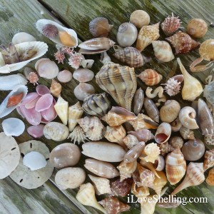 shells collected on south Fort Myers Beach Florida