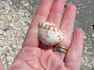 strawberry cockle found on Captiva Island Florida