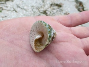 susan found an american star shell on Sanibel island