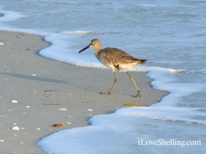 willet bird on Sanibel Island, Florida