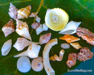 Mini seashells from sanibel display