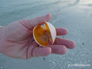 double buttercup shell collected on sanibel