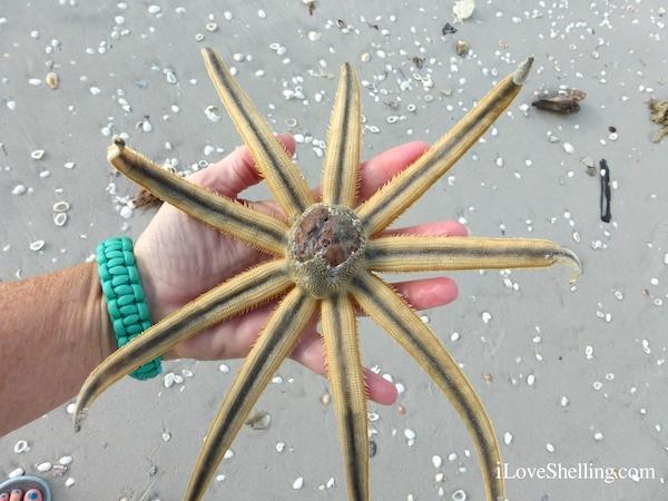 Millepede Starfish Eats Whole Potato