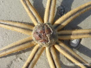 millepede starfish sea star eating a potato urchin