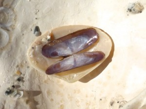 purplish tagelus shell interior