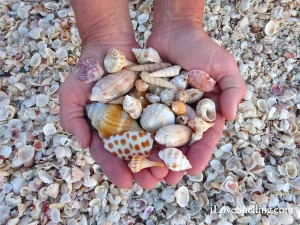 seashells at South Seas Plantation Resort
