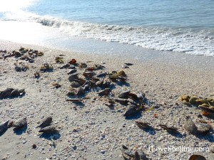 seashells wash up on sanibel island florida in april