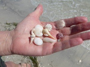 shells found on cayo costa cruise from captiva