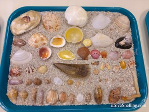 varieties of sanibel seashells