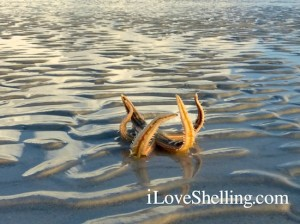 Curled live starfish sea star Sanibel Island