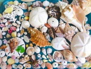 Grand Bahama Island seashells found May 2014